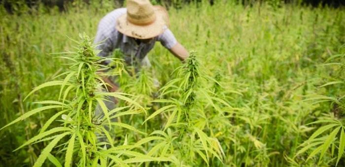 Culture Cannabis Europe